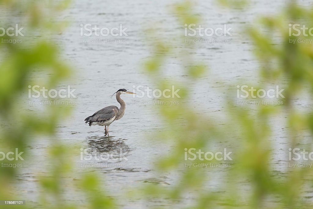 Great blue heron wading in shallows of Tennessee River royalty-free stock photo