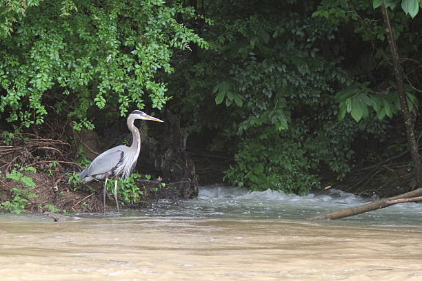 Great Blue Heron Wading Ardea herodias pigeon forge stock pictures, royalty-free photos & images