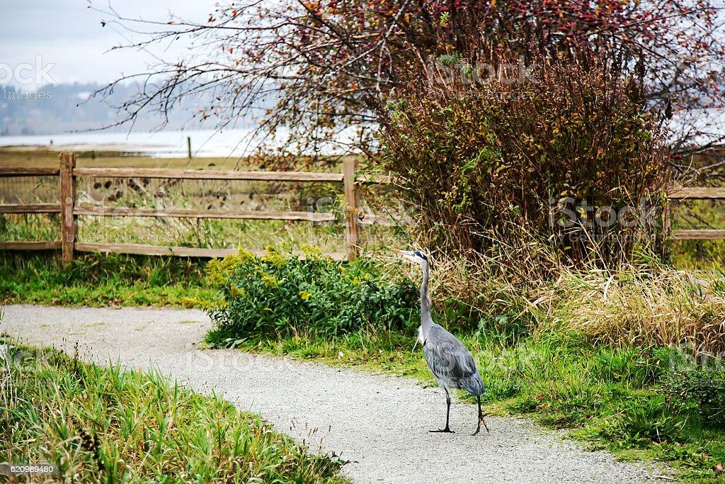 Great Blue Heron walking in a park foto royalty-free