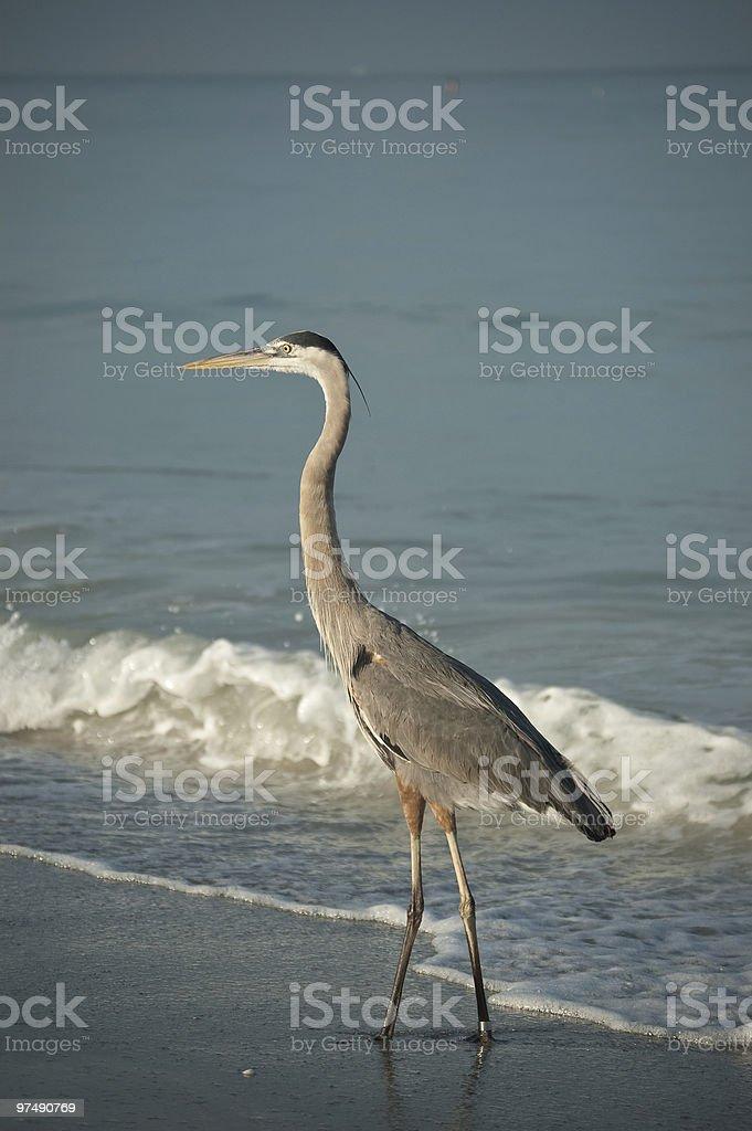 Great Blue Heron Walking on a Florida Beach royalty-free stock photo