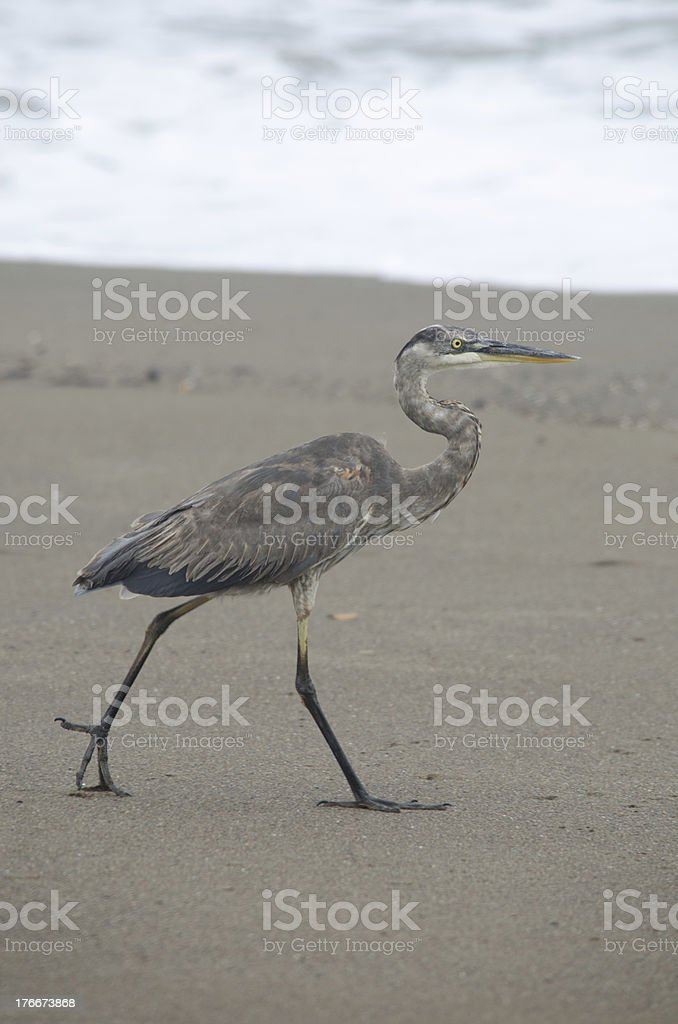 Great Blue Heron Walking On Beach royalty-free stock photo