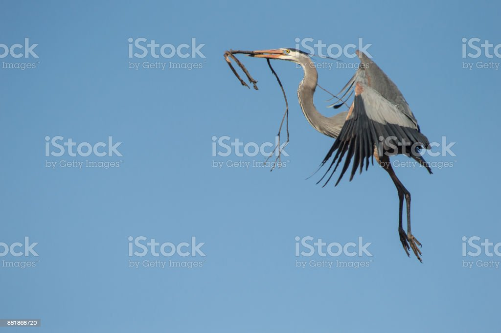 Great Blue Heron with Branch stock photo