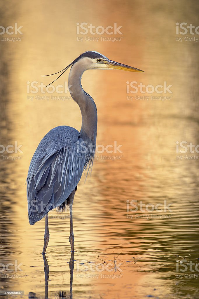 Great Blue Heron with Brilliant Background stock photo