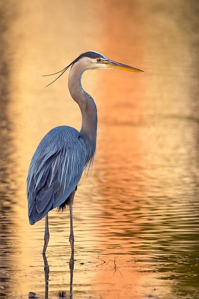 great blue heron with brilliant background - balıkçıl stok fotoğraflar ve resimler