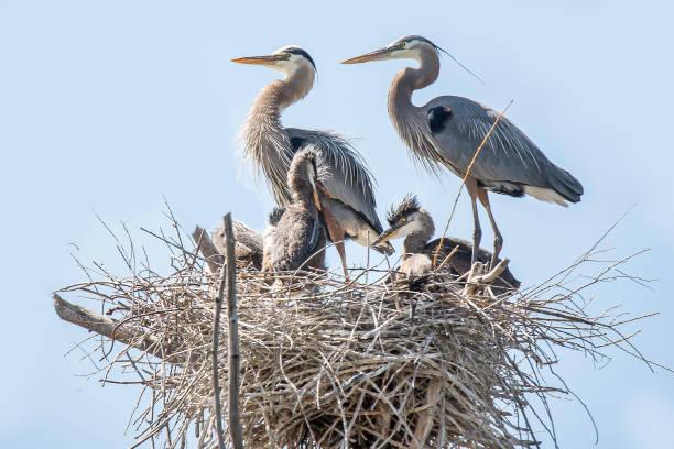 yuvada kuş tüngüsü civciv ile büyük mavi balıkçıl - balıkçıl stok fotoğraflar ve resimler