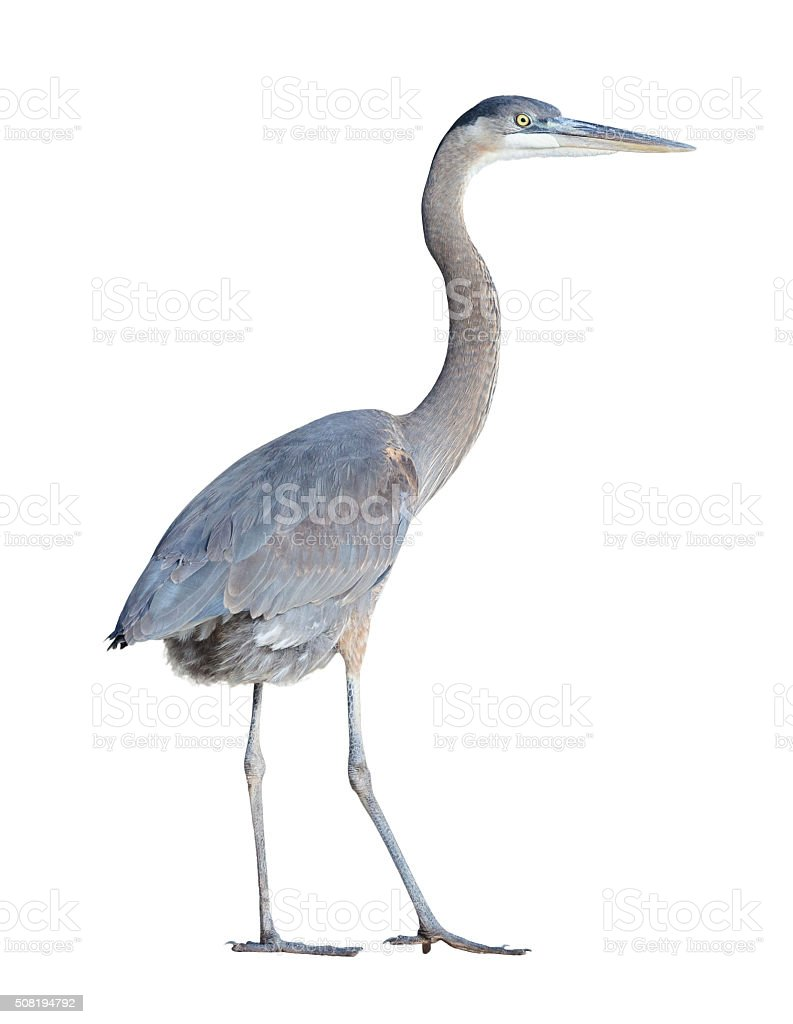 Great Blue Heron with Clipping Path stock photo