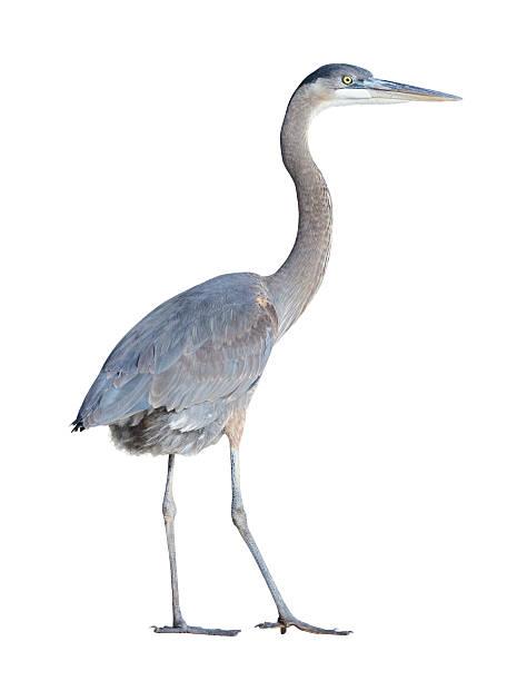 great blue heron with clipping path - balıkçıl stok fotoğraflar ve resimler