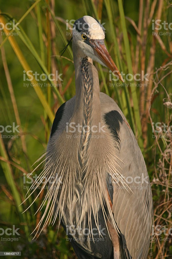 Great blue heron with feathers splayed out royalty-free stock photo