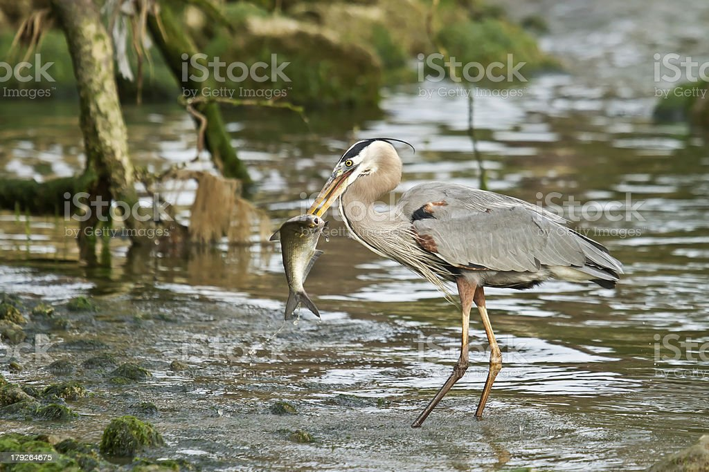 Great Blue Heron With Fish royalty-free stock photo