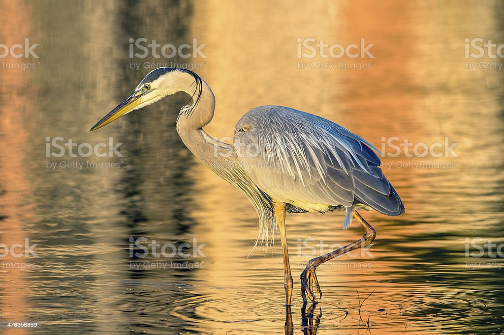 Great Blue Heron With Foot Raised Stock Photo More Pictures Of