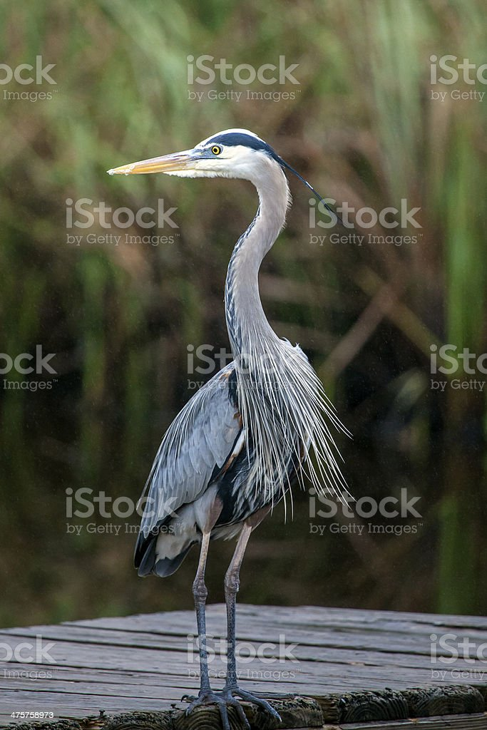Great Blue Heron with head turned royalty-free stock photo