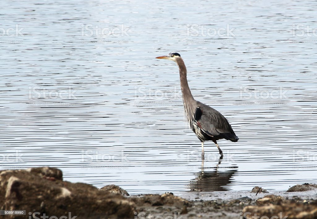 A blue heron walks with outstretched neck in shallow, calm water...