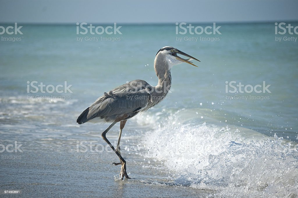 Great Blue Heron with Prey on a Florida Beach royalty-free stock photo