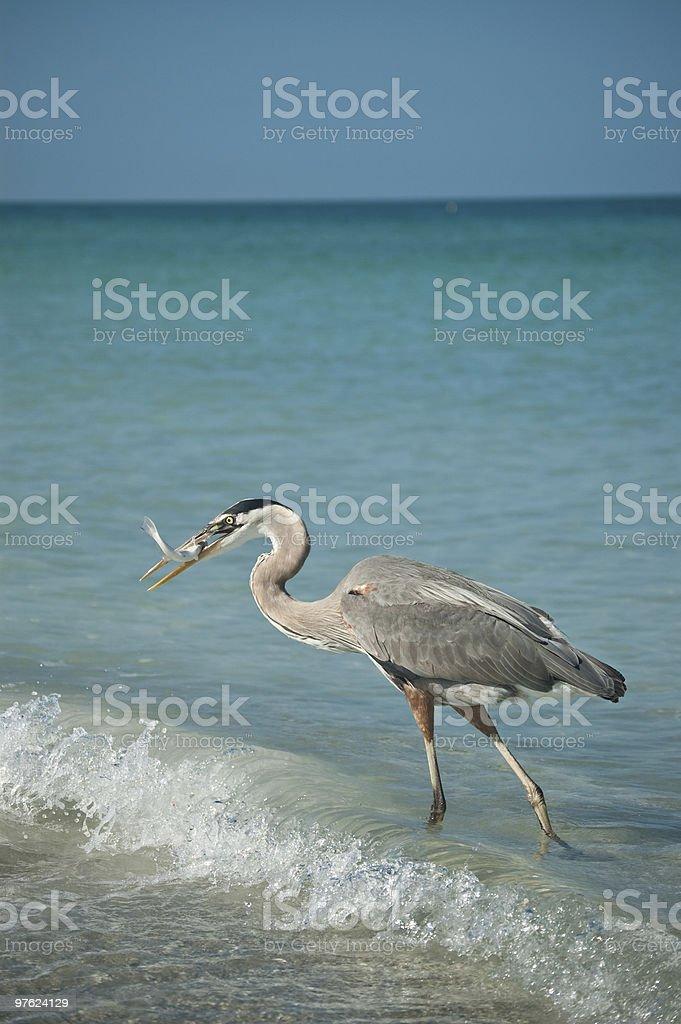Great Blue Heron avec proie sur une plage de Floride photo libre de droits