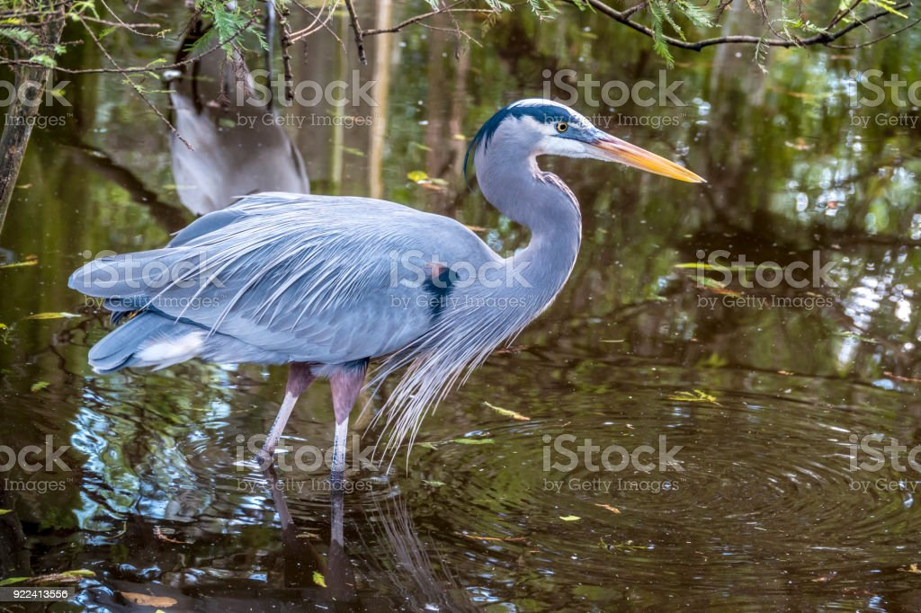 great blue heron,Ardea herodias stock photo