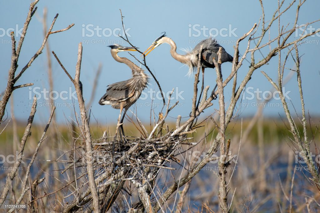 Great Blue Herons Building Nest stock photo