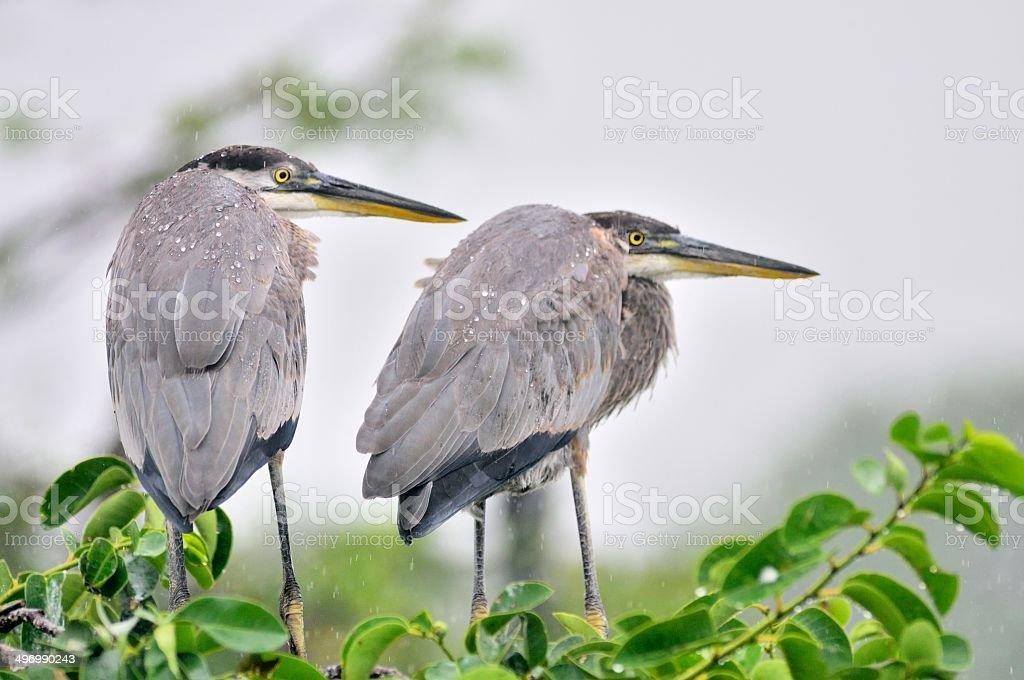 Great Blue Herons Juveniles In Rain stock photo
