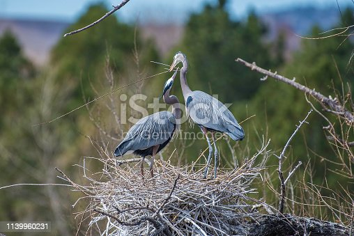 Great Blue Herons gathering sticks to prepare nest for babies.