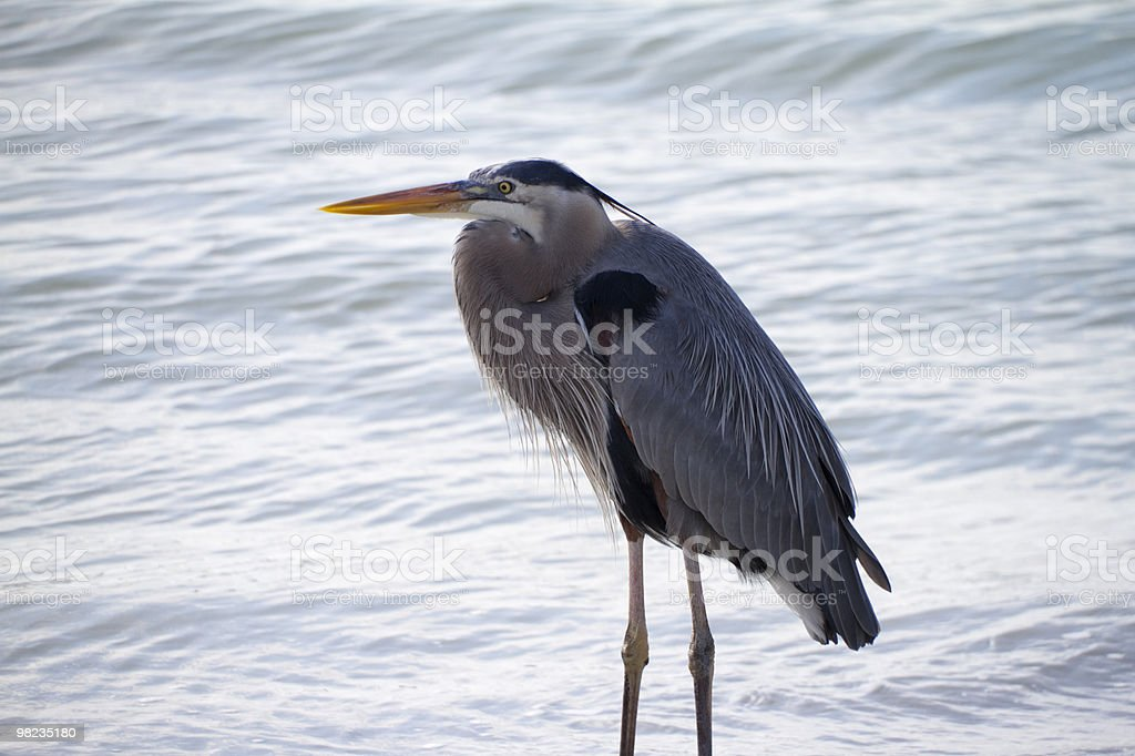 Great Blue in the Surf royalty-free stock photo