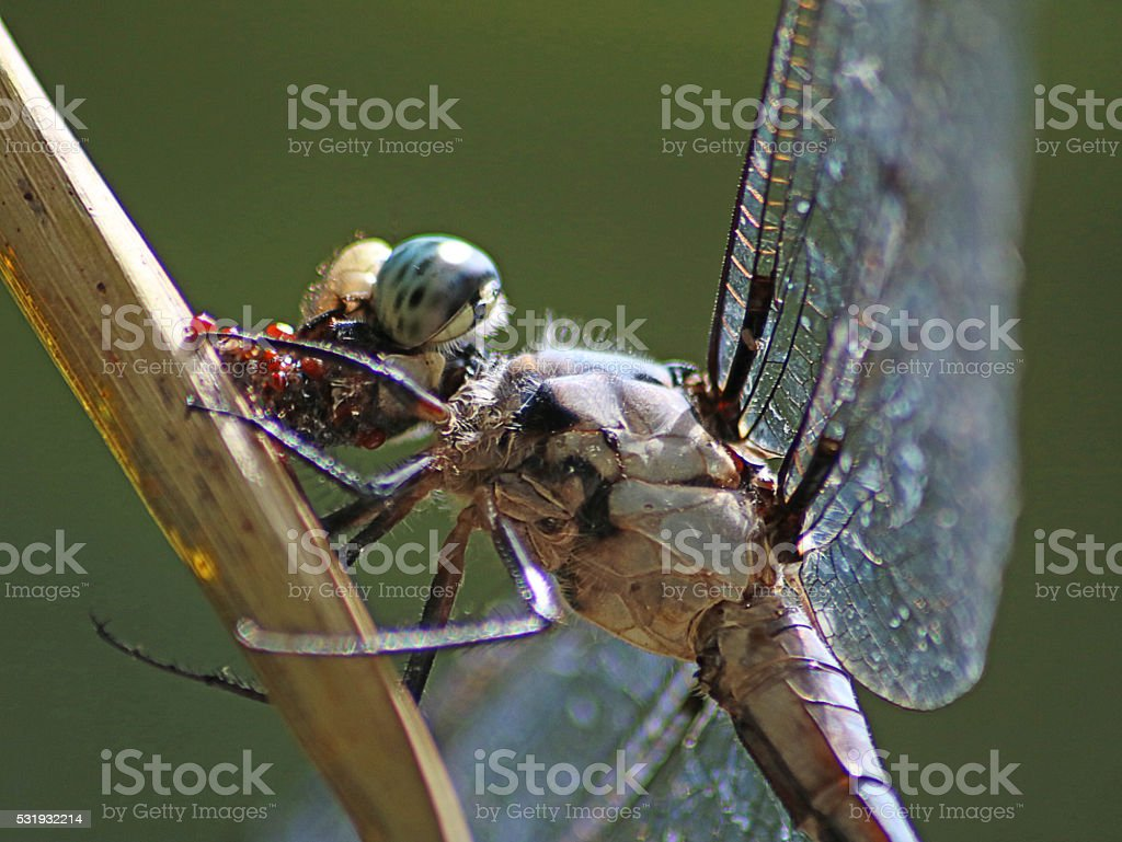 Great blue skimmer dragonfly eating stock photo