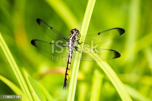 Great Blue Skimmer dragonfly.