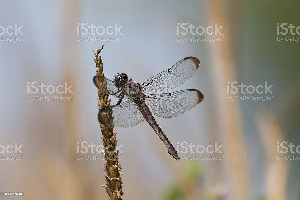 Great Blue Skimmer (Female) Dragonfly stock photo