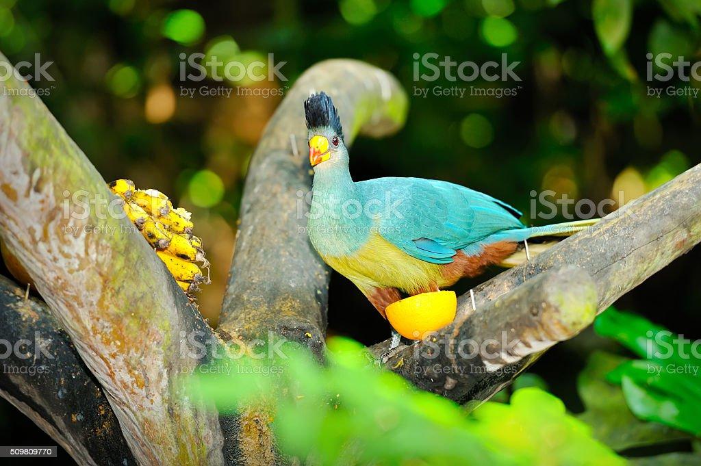 Great Blue Turaco stock photo