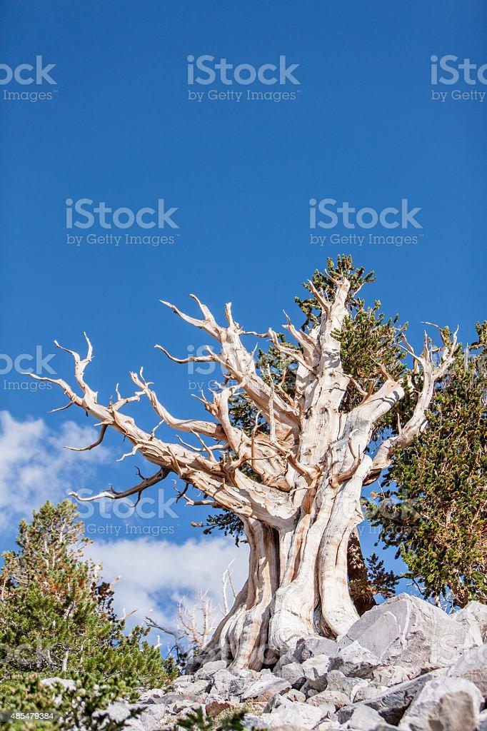 Great Bristlecone stock photo