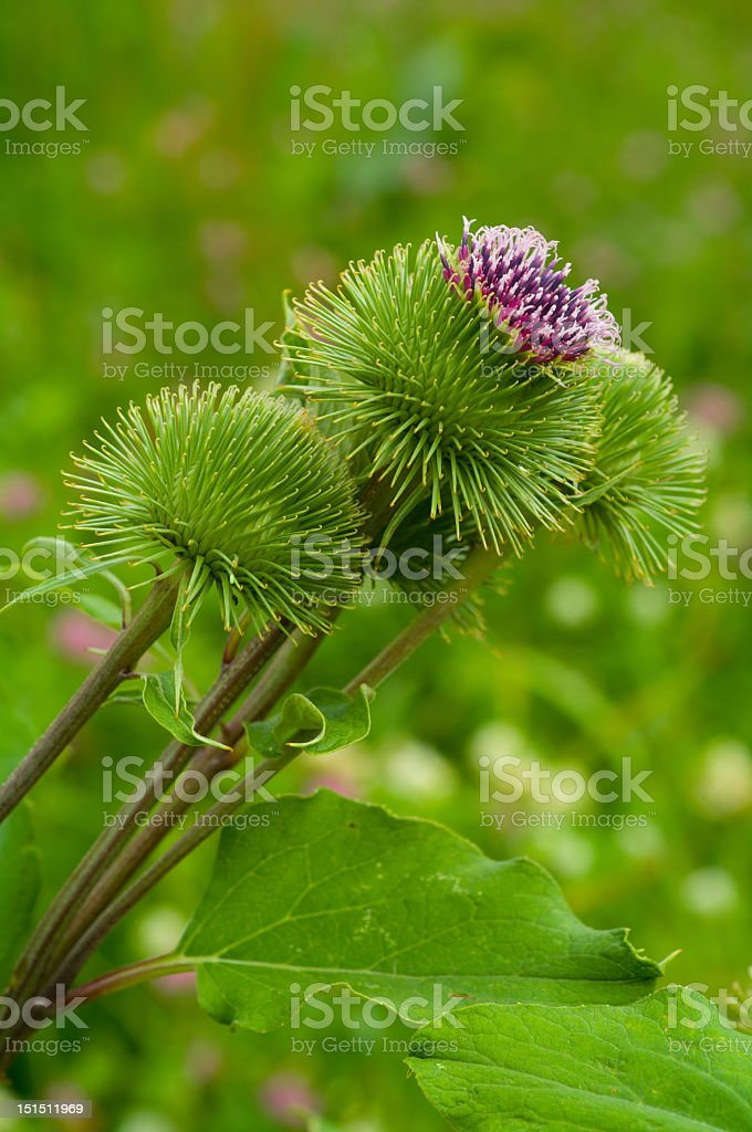 Great Burdock - Arctium lappa royalty-free stock photo