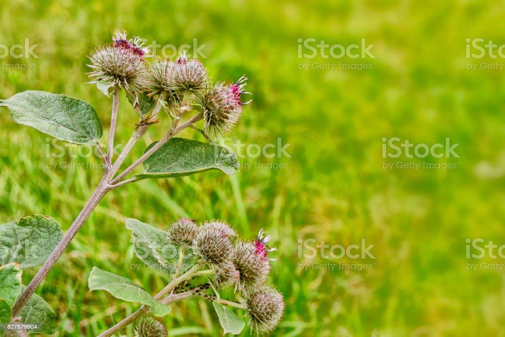 Great Burdock (Arctium lappa) stock photo
