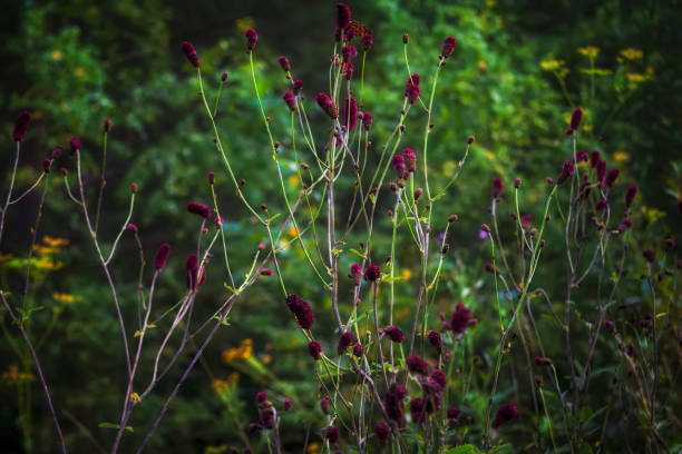 great burnet sanguisorba officinalis greater burnet flower. - bioremediation stock photos and pictures