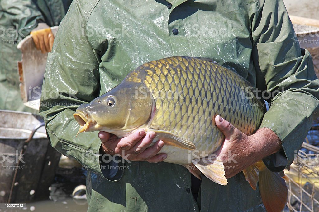 Great Catch of Fish royalty-free stock photo