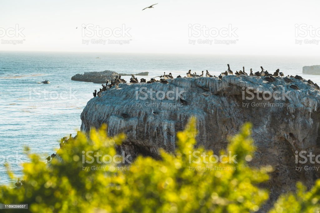 Brown Pelican Colony. Beautiful Seascape and Animals in the Wild