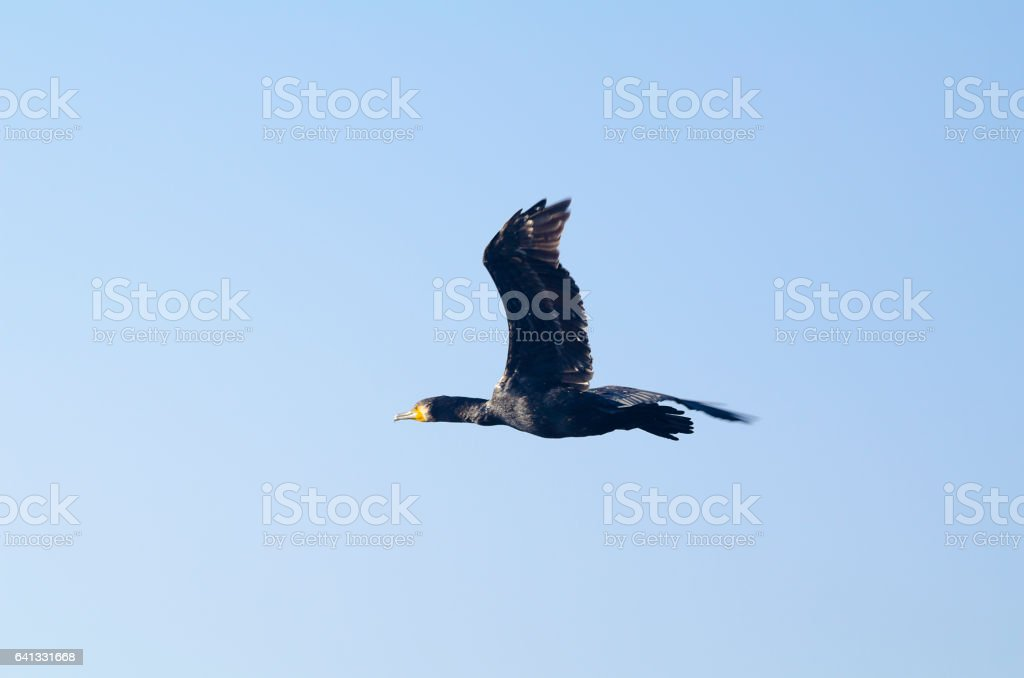Great cormorant bird stock photo