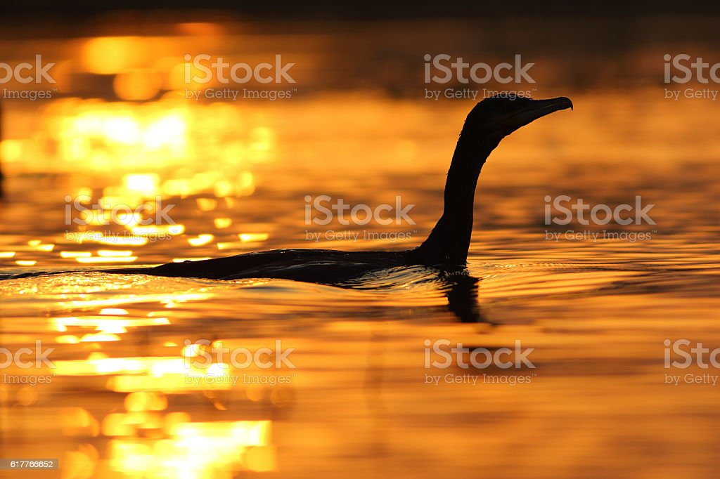 Great Cormorant in Golden morning stock photo