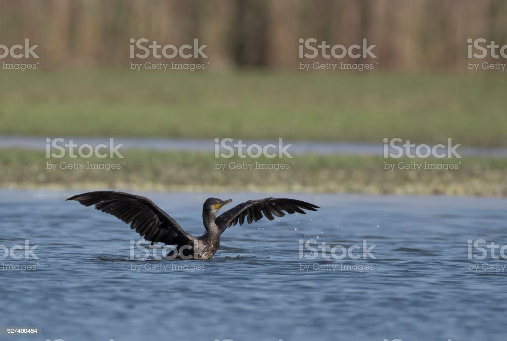 Great Cormorant Landing stock photo
