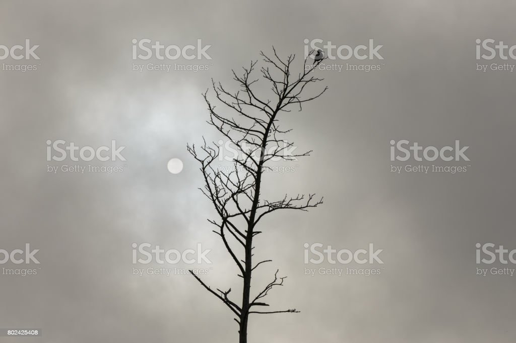Great Cormorant on the dead tree stock photo