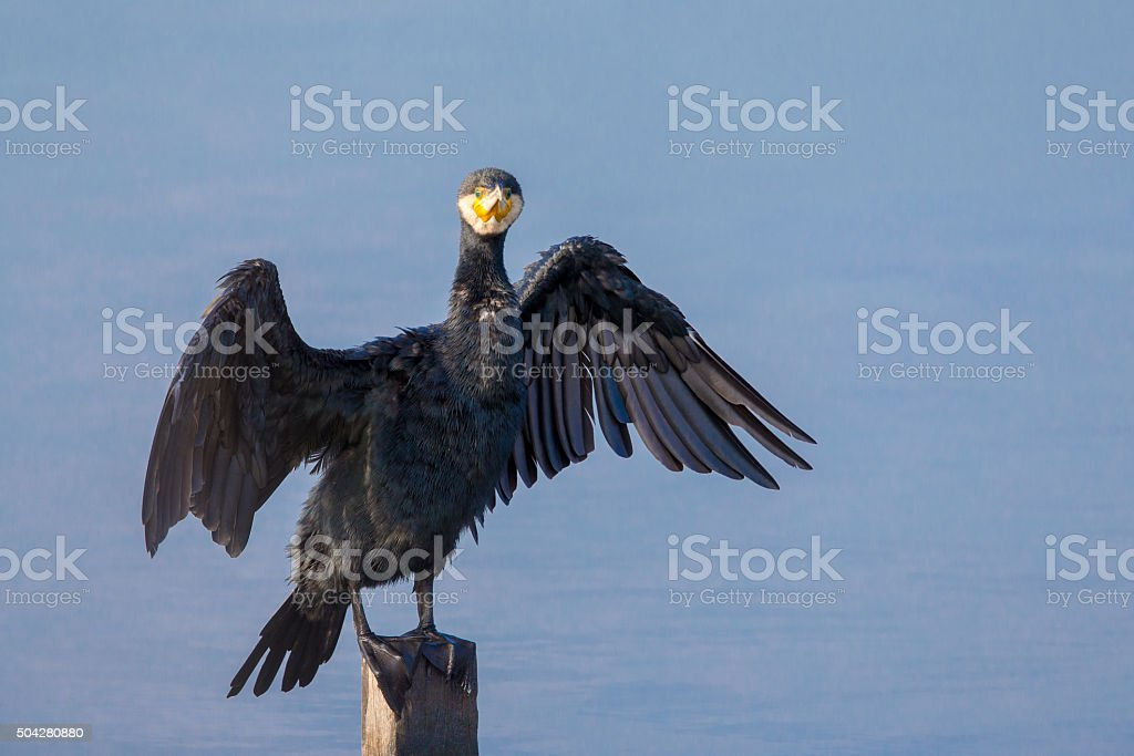 Great Cormorant (Phalacrocorax carbo) perching on wood stock photo
