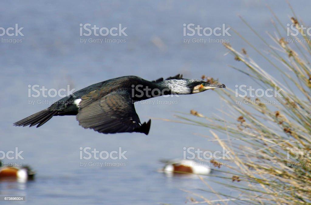 Great Cormorant, Phalacrocorax carbo, Black cormorant , flying foto de stock royalty-free