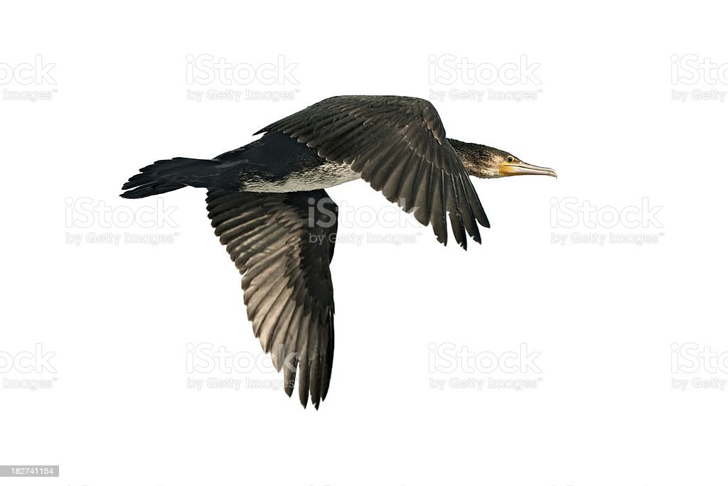 Great Cormorant (Phalacrocorax carbo) stock photo