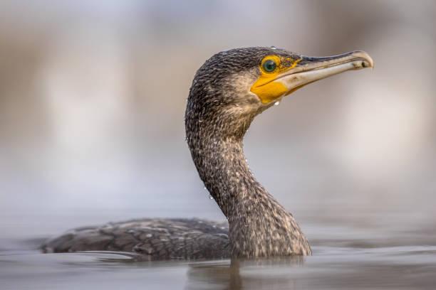 Great cormorant swimming picture id1216257813?b=1&k=6&m=1216257813&s=612x612&w=0&h=gqenuymx7dgzasq1nauxymiir7apnf7xqlkvsvhf2kk=