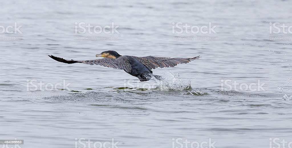 Great Cormorant taking off stock photo