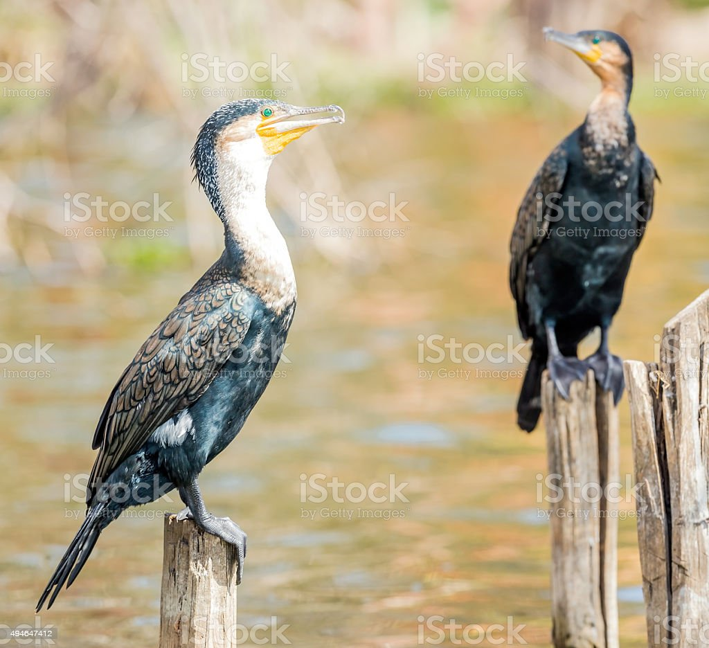 Great cormorants stock photo