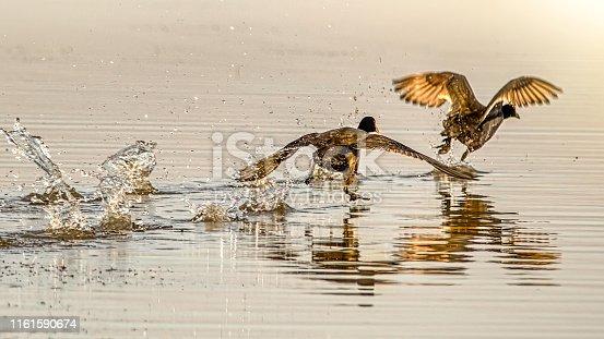 Great Cormorants (Phalacrocorax carbo) running on lake