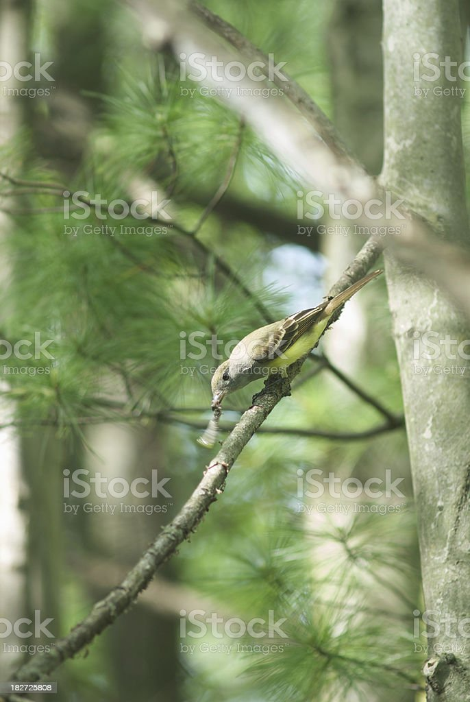 Great Crested Flycatcher (Myiarchus crinitus) royalty-free stock photo