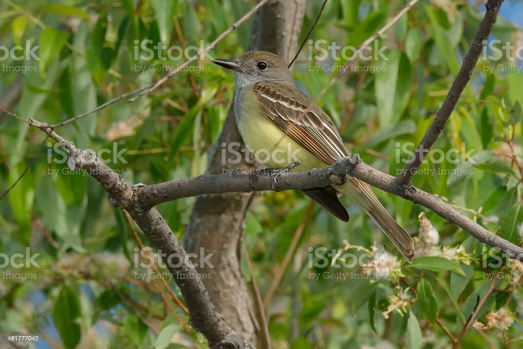 Great Crested Flycatcher royalty-free stock photo