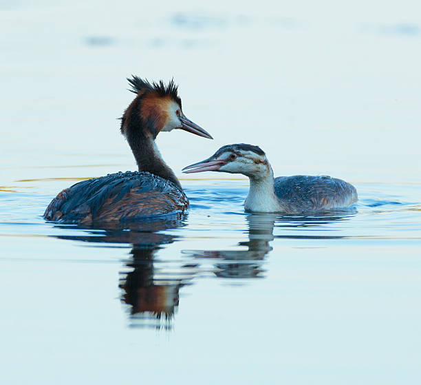 Great crested grebe adult and juvenile - foto stock