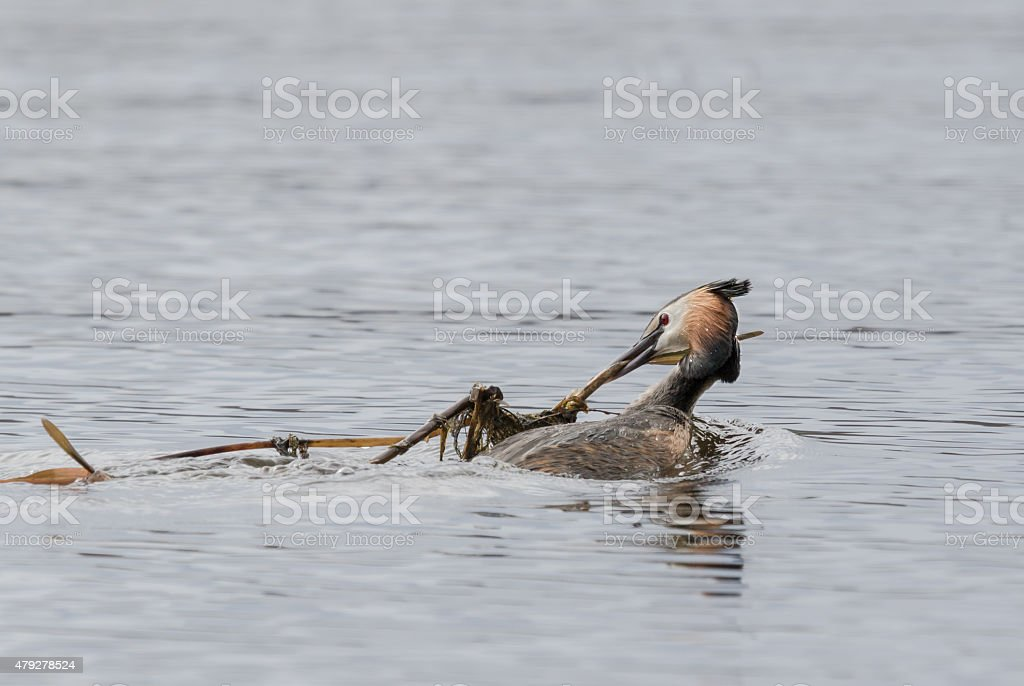 Great crested grebe building nest stock photo