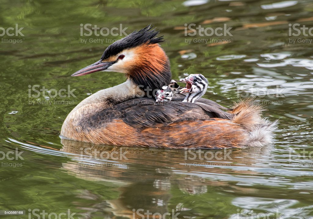 Great Crested Grebe carrying screaming baby chickens on back stock photo