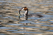 A great crested grebe catches a fish